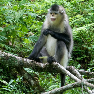 Yunnan snub-nosed monkey, Rhinopithecus biteti