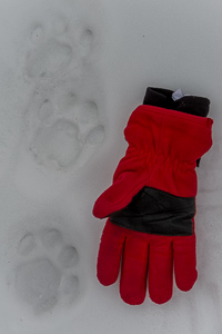 Snow leopard tracks in the snow with a glove for perspective, Ladakh, India