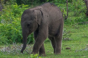 Baby elephant, Yala National Park, Sri Lanka